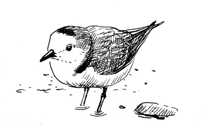 The 'white-faced' charadrius plover