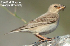 Pale Rock Sparrow