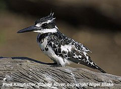 bird picture Pied Kingfisher