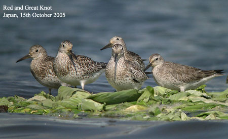 Red and Great Knot