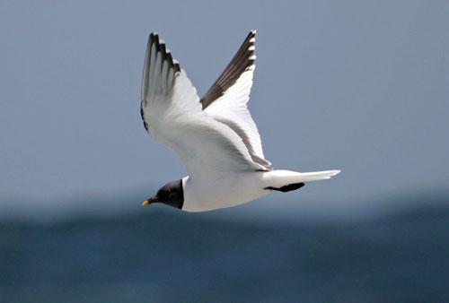sabines-gull-1-0408 jpgSabines Gull