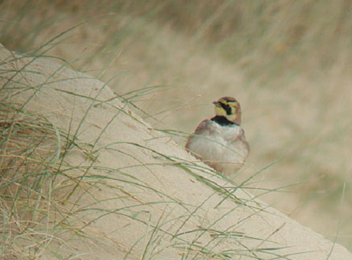 Shorelark, Holkham Gap