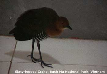 bird picture Slaty-legged Crake