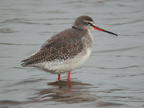 Spotted Redshank, Titchwell