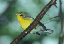 St Lucia Warbler