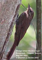 bird picture Wedge-billed Woodcreeper