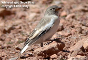 White-winged Snow Finch