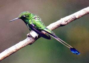 bird picture Booted Racket-tail
