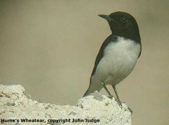 bird picture Hume's Wheatear