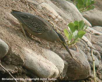 bird picture Striated Heron