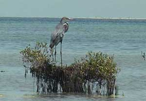 bird picture Goliath Heron