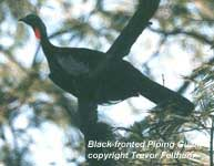 bird photo - Black-fronted Piping Guan