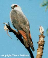 bird photo - Plumbeous Kite