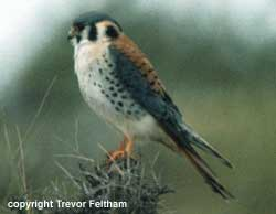 bird photo - American Kestrel