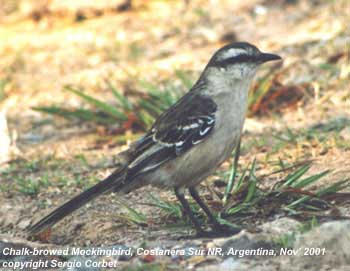 bird photo - Chalk-browed Mockingbird