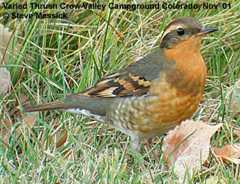 bird picture Varied Thrush