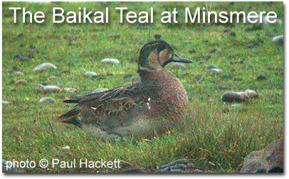 The Baikal Teal at Minsmere