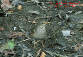 bird picture Tickell's Thrush