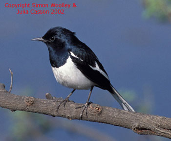 bird picture Asian Magpie Robin