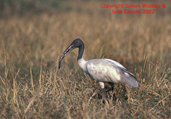 bird picture Black-headed Ibis