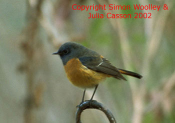 bird picture Blue-fronted Redstart