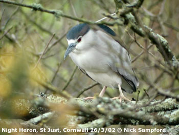 bird picture Black-crowned Night Heron