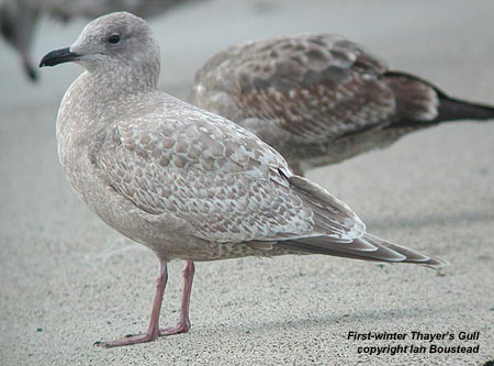 """Separating first winter Thayer's Gull from """"Olympic"""" Gull ... 