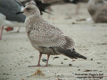 Thayer's Gull | Audubon Field Guide |Thayers Gull