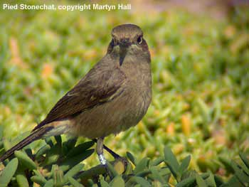 bird picture Fuerteventura Chat