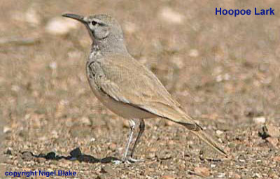 bird photo - Hoopoe Lark