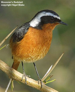 bird photo - Moussier's Redstart
