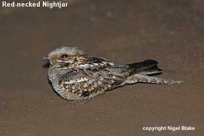 bird picture Red-necked Nightjar