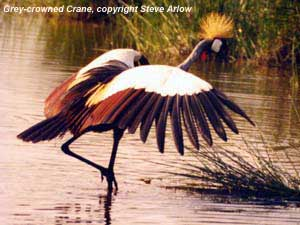bird picture Grey-crowned Crane