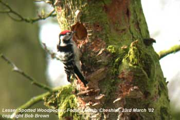 bird picture Lesser-spotted Woodpecker