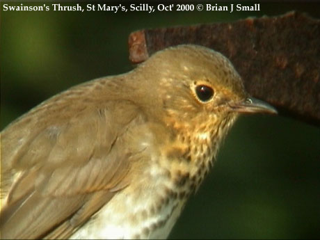 bird picture Swainson's Thrush