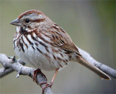 bird picture Song Sparrow