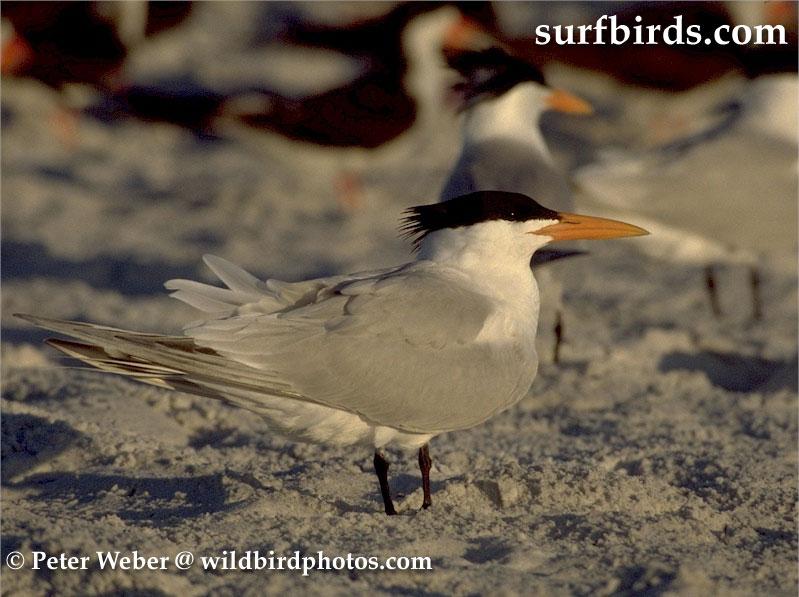Royal Tern By Peter Weber
