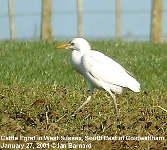 bird picture Cattle Egret