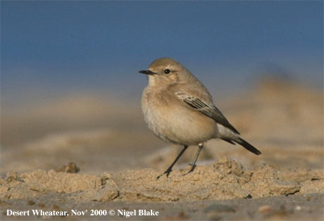 bird picture Desert Wheatear