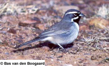 bird picture Black-throated Sparrow