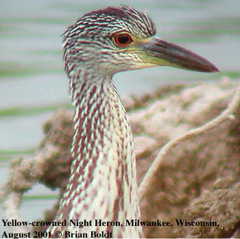 bird picture Yellow-crowned Night Heron