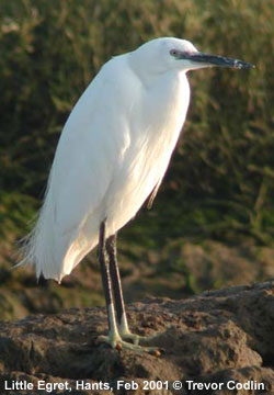 bird picture Little Egret