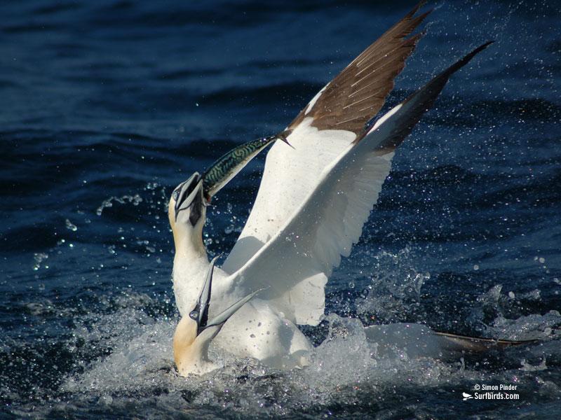 http://www.surfbirds.com/media/Photos/dec06screen800.jpg
