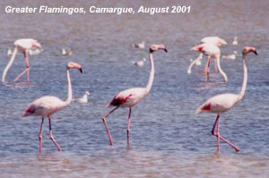 bird picture Greater Flamingo