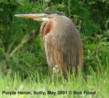 bird picture Purple Heron