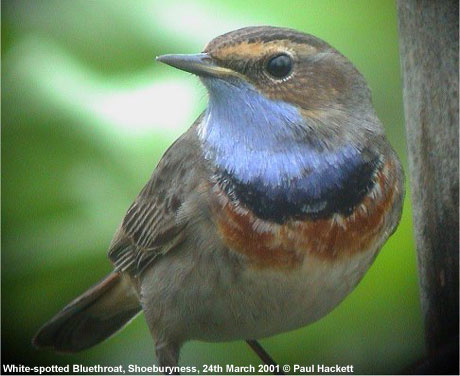bird picture Bluethroat