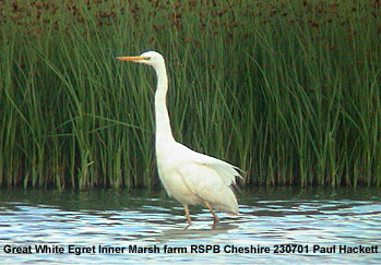 bird picture Great White Egret