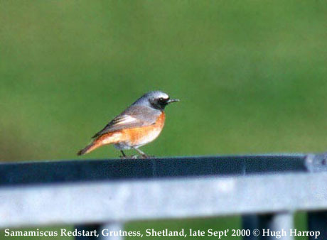 bird picture Common Redstart (samamiscus)