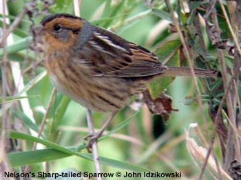 bird picture Nelson's Sharp-tailed Sparrow