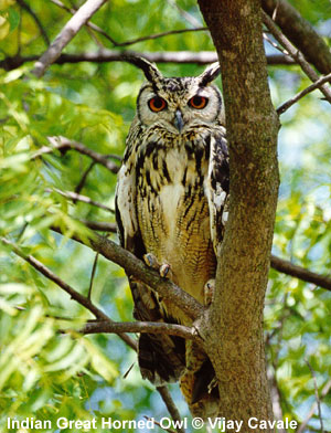 bird picture Indian Great Horned Owl